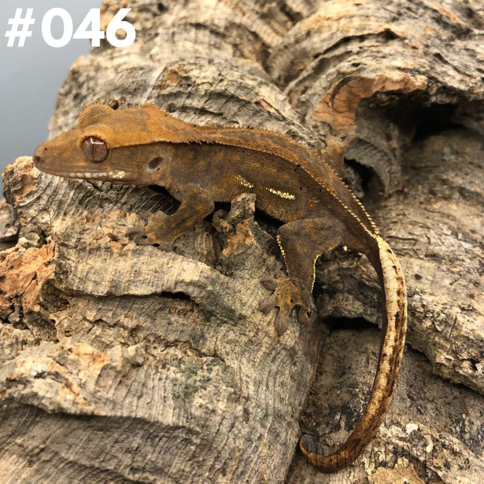 Crested Gecko #046
