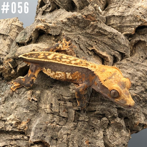 Crested Gecko #056