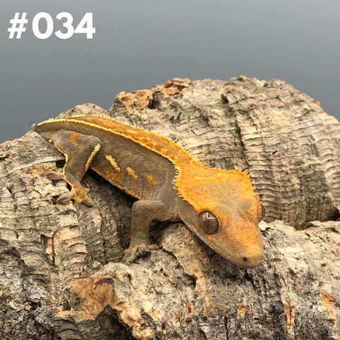 Crested Gecko #034