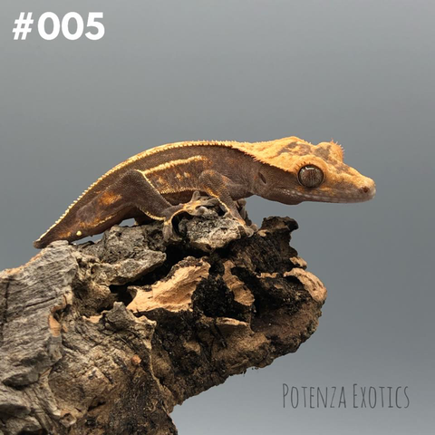 Crested Gecko #005