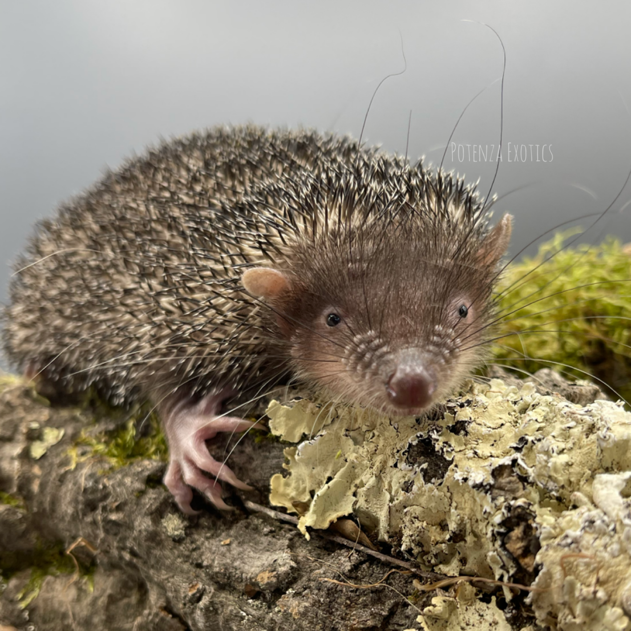 Greater Tenrec Deposit $200