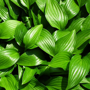 Hosta of the Year Winners