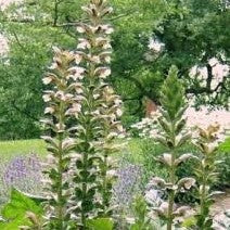 Acanthus mollis Bear's Breeches image credit Stonehouse Nursery