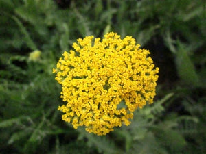 Achillea filipendulina Cloth of Gold Yarrow image credit Millgrove Perennials