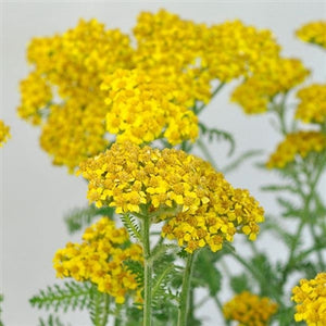 Achillea millefolium Little Moonshine Yarrow image credit Darwin Plants