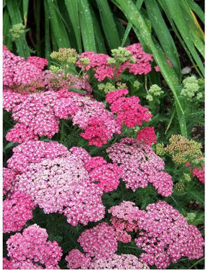 Achillea millefolium Saucy Seduction Yarrow image credit Walters Gardens Inc