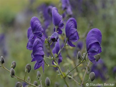 Aconitum cammarum Henry Spark's Monkshood