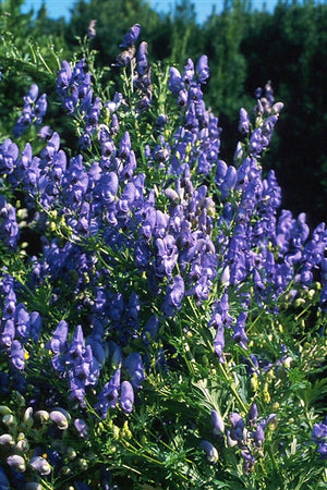 Aconitum fischeri Monkshood image credit Photo credit: Walters Gardens Inc.