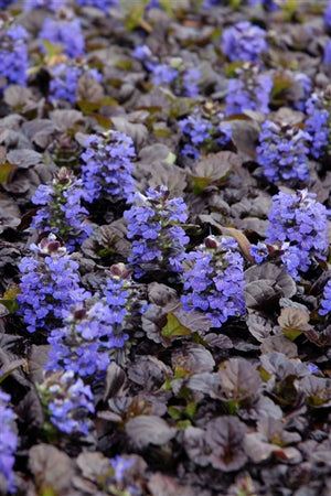 Ajuga reptans Black Scallop Bugleweed image credit Photo credit: Walters Gardens Inc.