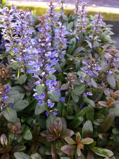Ajuga reptans Chocolate Chip Bugleweed