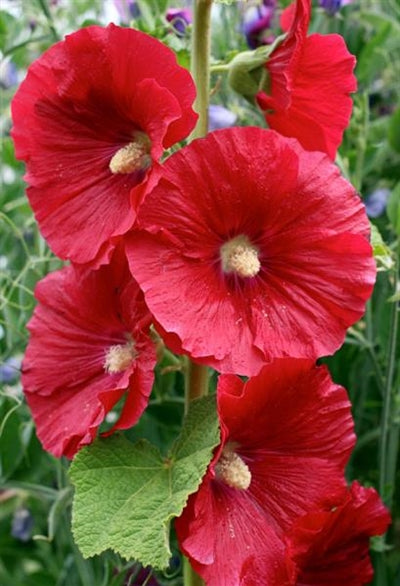 Alcea rosea Mars Magic Hollyhocks