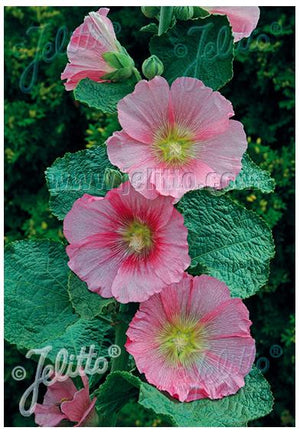 Alcea rosea Radiant Rose Hollyhocks image credit Jelitto