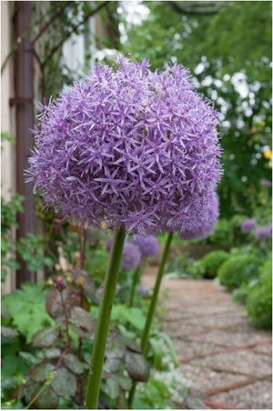 Allium Globemaster Ornamental Onion image credit Millgrove Perennials