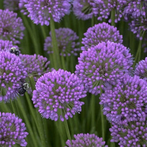 Allium Millenium Ornamental Onion image credit Walters Gardens
