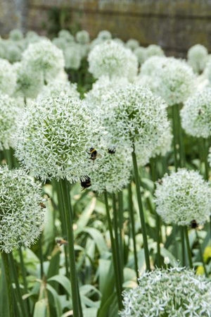 Allium Mount Everest Ornamental Onion image credit Devroomen Inc.