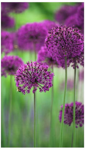 Allium hollandicum Purple Sensation Ornamental Onion image credit crocus.co.uk