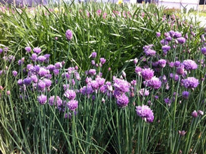 Allium schoenoprasum German Garlic image credit Millgrove Perennials