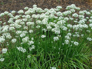 Allium tuberosum Garlic Chives image credit Millgrove Perennials