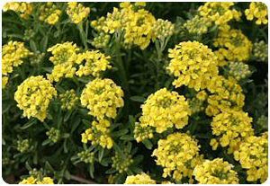 Alyssum montanum Mountain Gold Mountain Alyssum image credit Millgrove Perennials