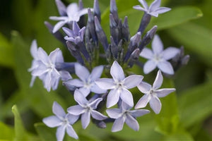 Amsonia hybrid Blue Ice Arkansas Blue Star image credit Walters Gardens Inc