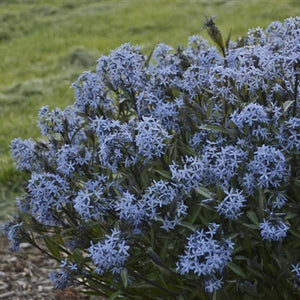 Amsonia tabernaemontana Storm Cloud PW Arkansas Blue Star image credit Walters Gardens