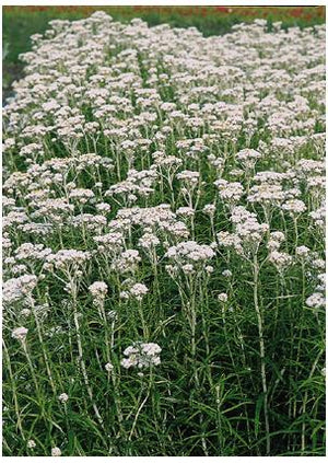 Anaphalis margaritacea New Snow Pearly Everlasting image credit Seed Man
