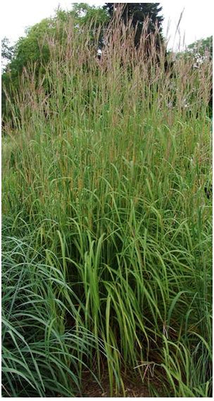 Andropogon gerardii Blue Stem image credit Northcreek Nurseries