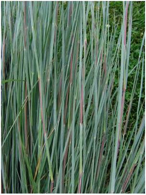 Andropogon scoparium Little Blue Stem image credit Northcreek Nurseries