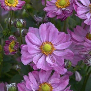 Anemone hybrid Curtain Call Pink Windflower image credit Walters Gardens