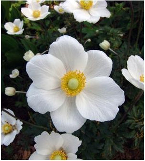 Anemone sylvestris Windflower image credit Northcreek Nurseries