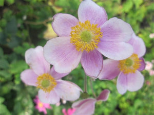 Anemone tomentosa Robustissima Windflower image credit Millgrove Perennials