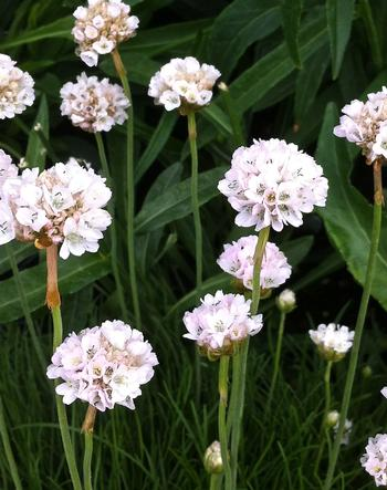 Armeria maritima Alba Common Thrift