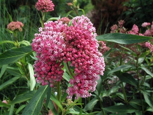 Asclepias incarnata Cinderella Milk Weed Butterfly Weed image credit Walters Gardens Inc