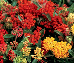 Asclepias tuberosa Gay Butterflies Milk Weed Butterfly Weed image credit Millgrove Perennials