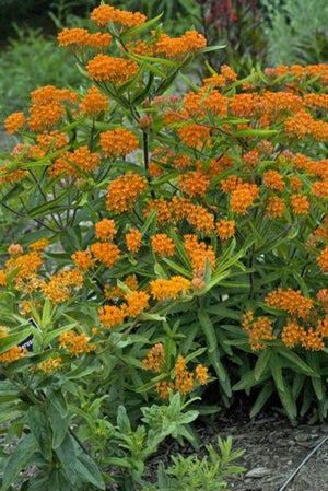 Asclepias tuberosa Milk Weed Butterfly Weed image credit Walters Gardens Inc