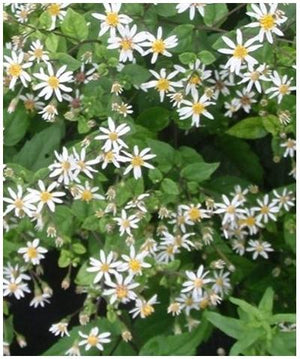 Aster divaricatus Eastern Star Wood Aster image credit Millgrove Perennials