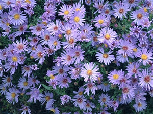 Aster dumosus Wood's Light Blue New York Aster image credit Photo credit: Walters Gardens Inc.