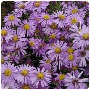 Aster dumosus Wood's Pink New York Aster