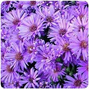 Aster dumosus Wood's Purple New York Aster image credit Ball Horticultural Company