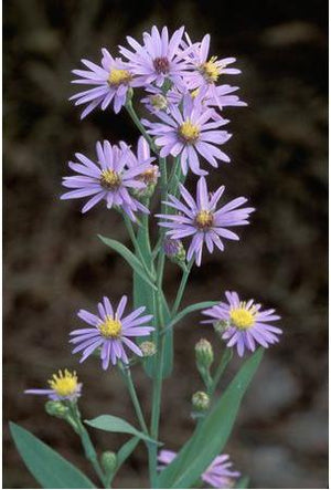 Aster laevis Smooth Aster image credit Millgrove Perennials