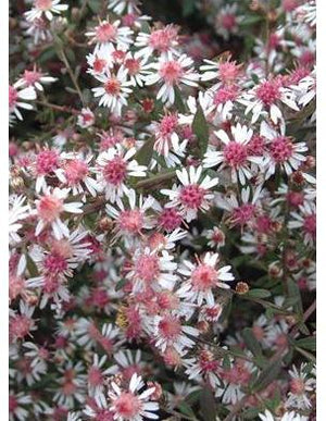 Aster lateriflorus Lady in Black Michaelmas Daisy image credit Walters Gardens Inc