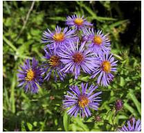 Aster novae-angliae New England Aster image credit Ontario Wild Flowers
