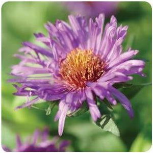 Aster novae-angliae Purple Dome New England Aster image credit Ball Horticultural Company