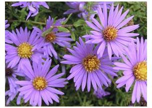 Aster oblongifolius October Skies Fall Aster image credit Walters Gardens Inc