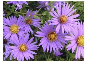 Aster oblongifolius October Skies Fall Aster