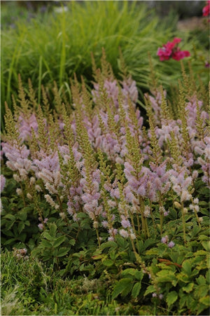 Astilbe chinensis Pumila False Spirea image credit Photo credit: Walters Gardens Inc.
