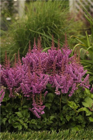 Astilbe chinensis Visions False Spirea image credit Photo credit: Walters Gardens Inc.