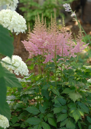 Astilbe chinensis Visions in Pink False Spirea image credit Photo credit: Walters Gardens Inc.