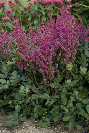 Astilbe chinensis Visions in Red False Spirea image credit Photo credit: Walters Gardens Inc.
