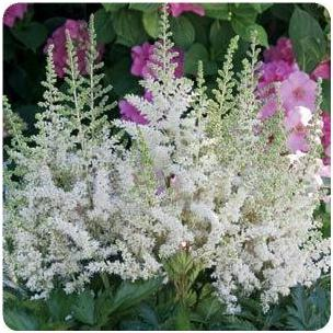 Astilbe chinensis Visions in White False Spirea